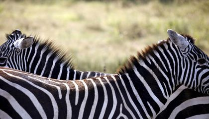 Zebra Stripes Might Not Be Camouflage