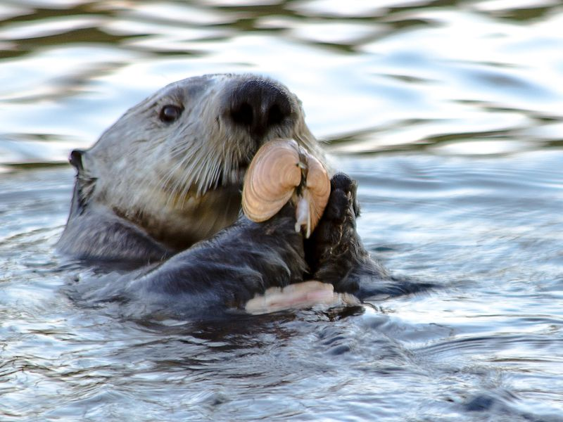 unlike dolphins sea otters that use tools are not closely related