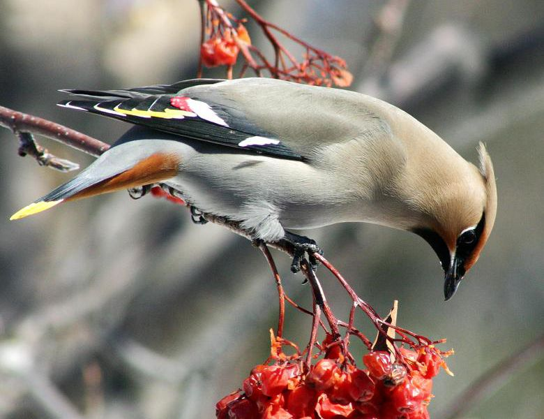 'Drunk' birds wreak havoc on Minnesota city