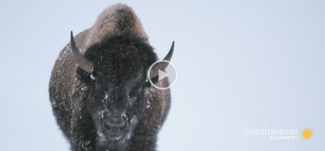 Caption: Yellowstone Bison Are Built for Winter Survival