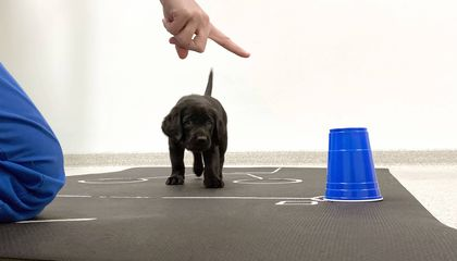Puppies Are Born Ready to Communicate With Humans