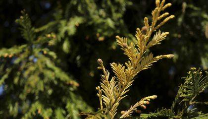 Rare Half-Albino Redwood Tree Is Safe, For Now