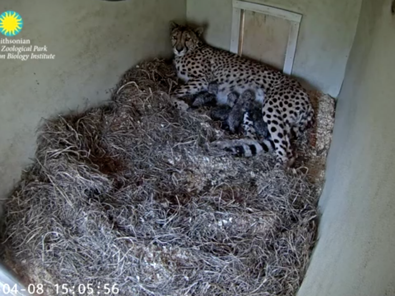 Echo nursing her four cubs
