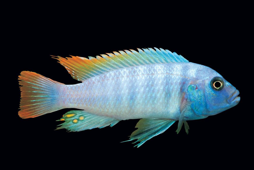 The Fishy Mystery Of Lake Malawi Science Smithsonian Magazine