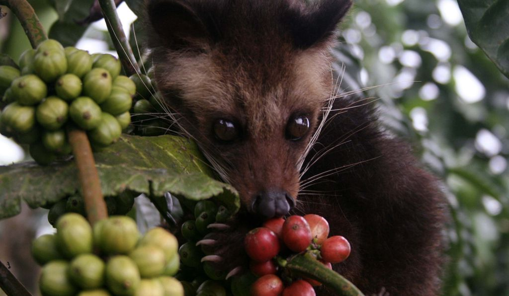 A civet eats ripe coffee berries at a plantation in Indonesia.