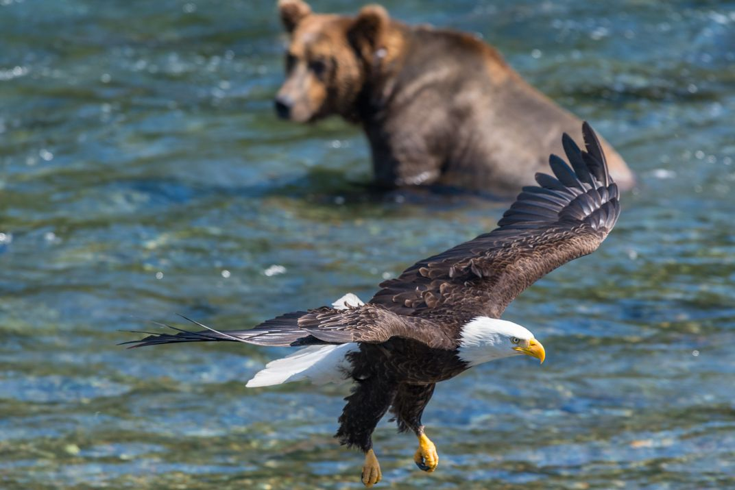 Bald eagle and brown bear at Katmai National Park | Smithsonian ...
