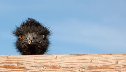 """Describing Someone as """"Birdbrained"""" Is Misguided, Unless You're Talking About Emus"""