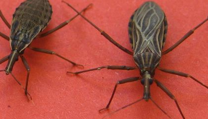 Five Things to Know about Kissing Bugs and Chagas Disease