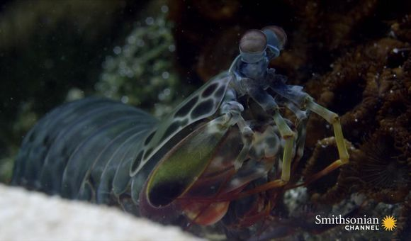 Preview thumbnail for video'Watch This Male Mantis Shrimp Dance to Attract a Mate