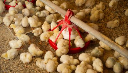 Can New Technologies Eliminate the Grim Practice of Chick Culling?