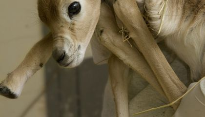 Dama Gazelle Born at the National Zoo