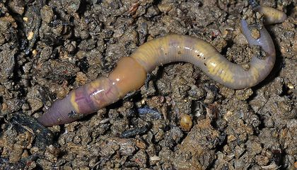 Earthworms Could Make Climate Change Worse