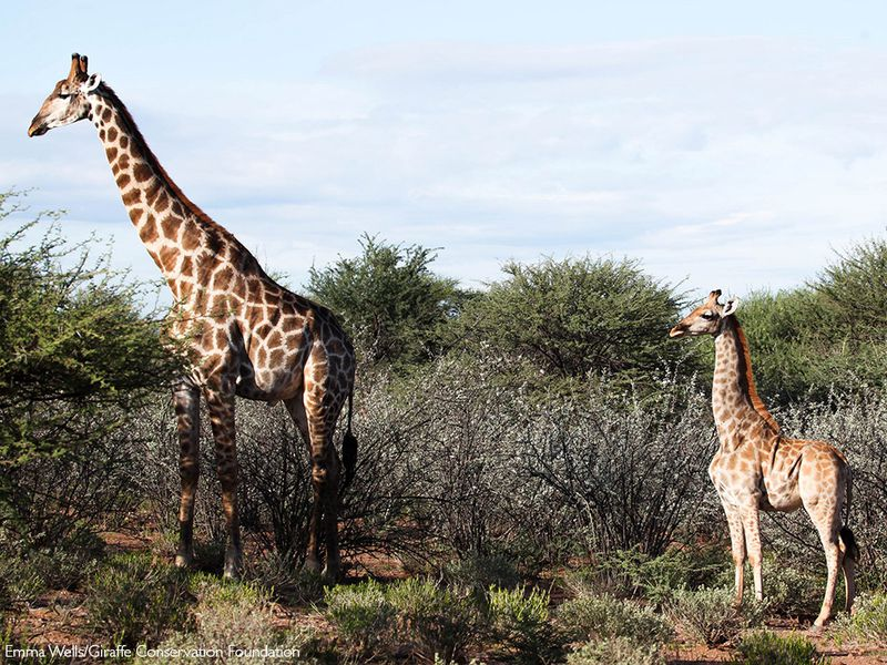 A photo of two giraffes standing in an open space surrounded by shrubs. The giraffe on the right has dwarfism, and it is significantly shorter than the taller giraffe on the left.