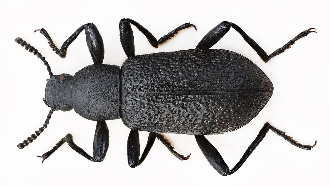 Dark insect on a white background.