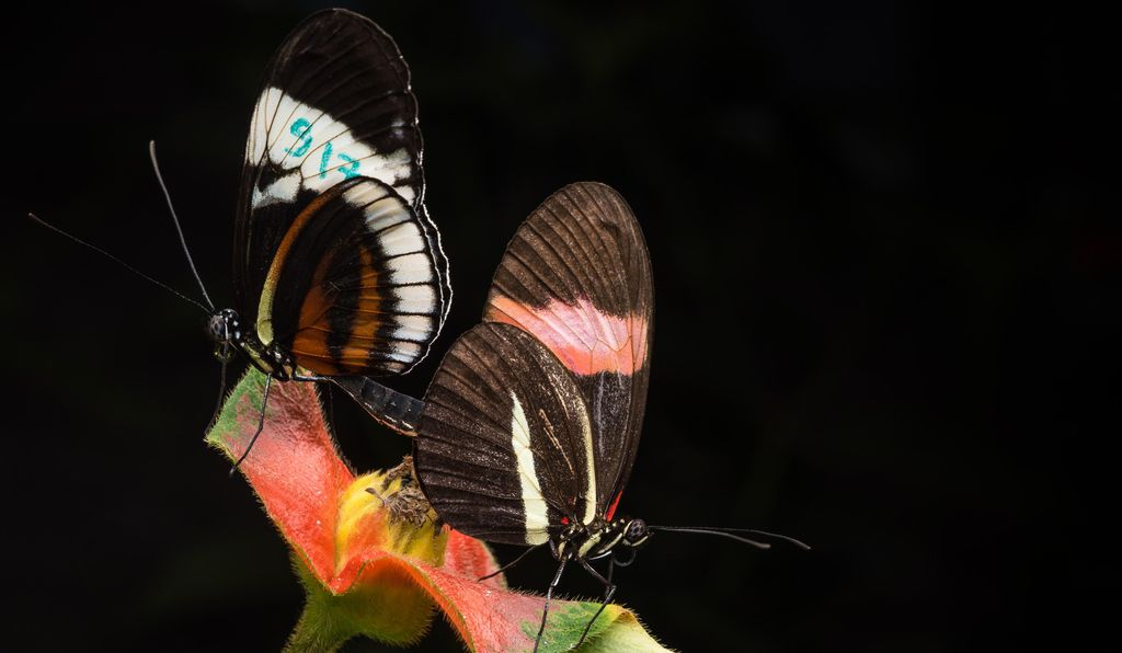 Here the two species—<i>Heliconius cydno</i>, left, and <i>Heliconius melpomene</i>, right—court in an insectary. It's very uncommon in the wild but scientists can induce them to do it in captivity.