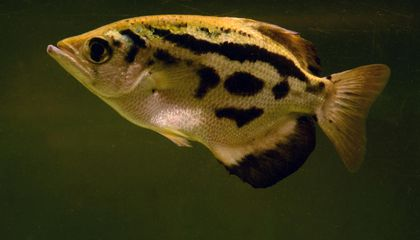 This Tropical Fish Can Be Taught to Recognize Human Faces