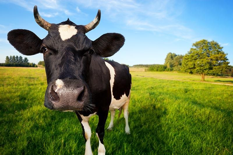 Cows Get Moooody During Puberty, Too