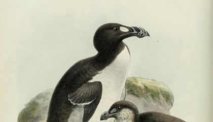 When the Last of the Great Auks Died, It Was by the Crush of a Fisherman's Boot