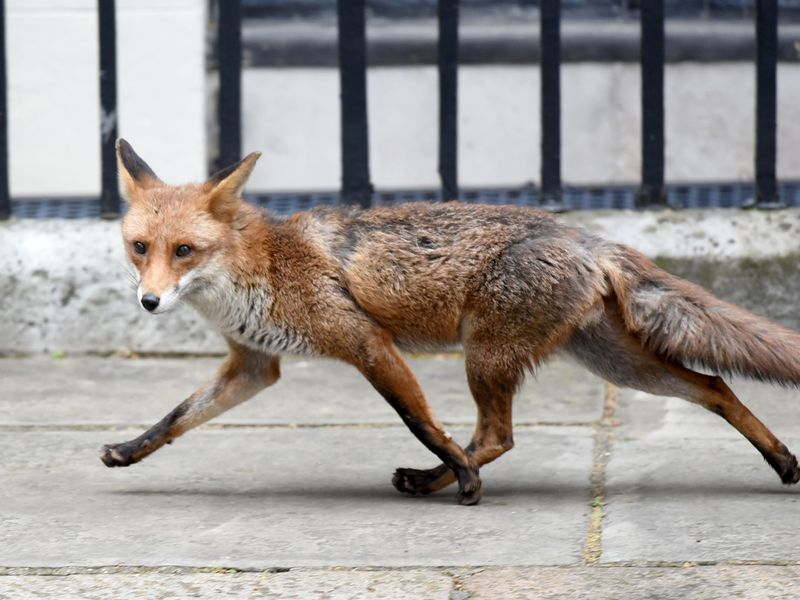 London Foxes Show Early Signs Of Self Domestication Smart News Smithsonian Magazine