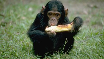 Chimpanzees Can Learn to Cook