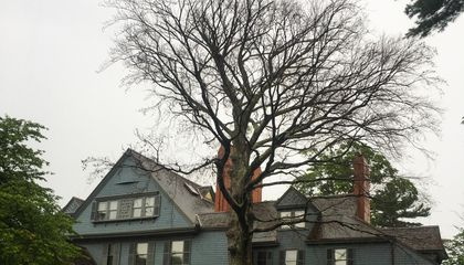 A Copper Beech Tree Planted by Theodore Roosevelt Is Being Cut Down
