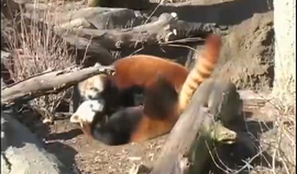 Preview thumbnail for video'Love at First Sight for Two Red Pandas