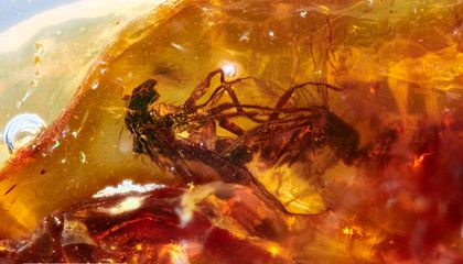 Researchers Find Two Fornicating Flies Enshrined in 41-Million-Year-Old Amber