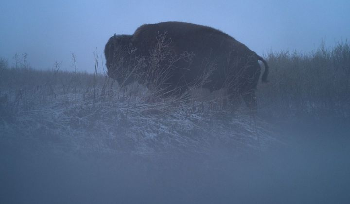 A bison crosses a coulee (a landform shaped by water drainage) during a freezing spring morning.