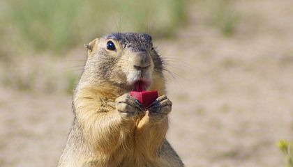 Plague-Infected Prairie Dogs Cause Parks to Close Near Denver