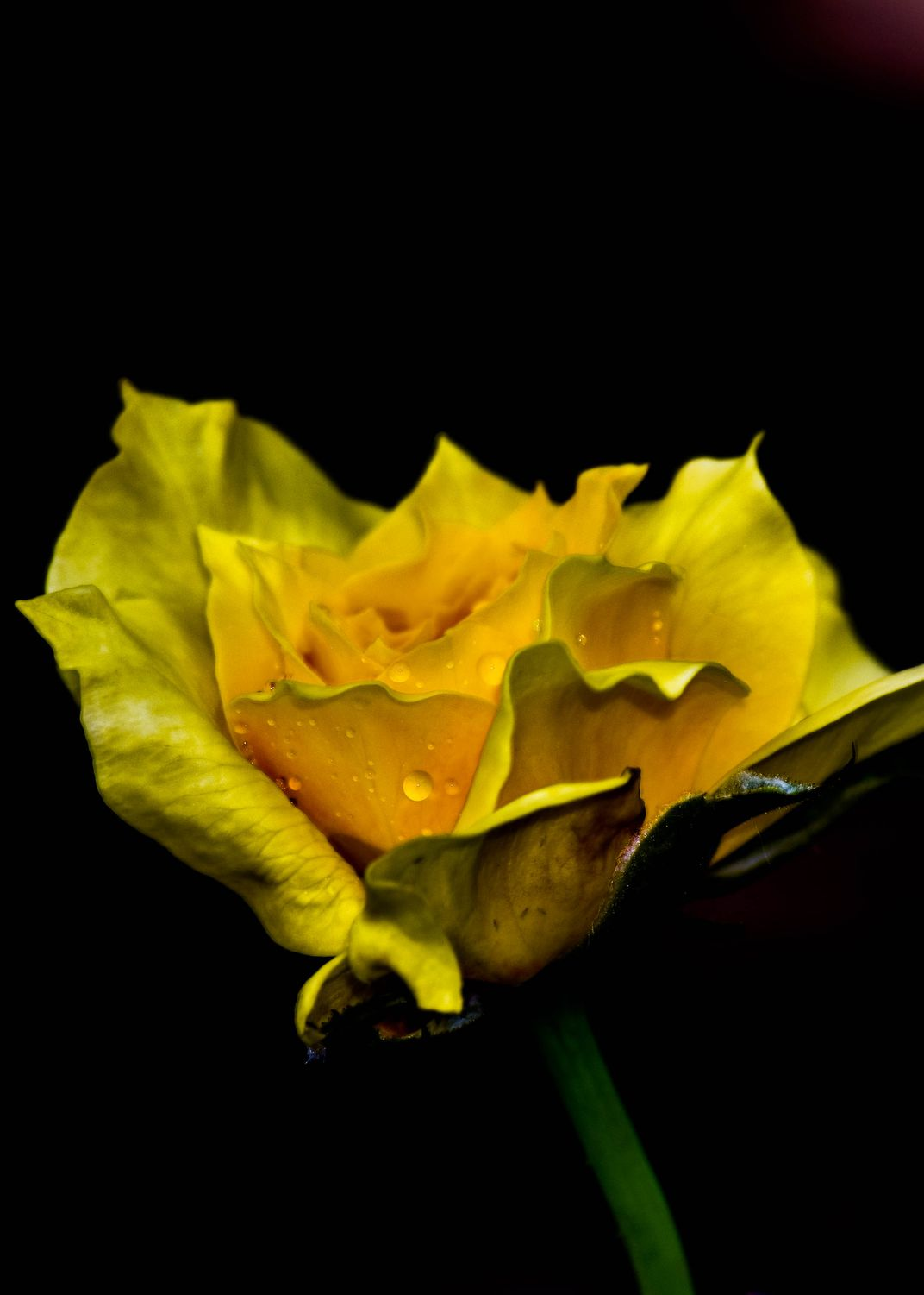 Yellow Rose Of Texas Outside My Home Smithsonian Photo Contest