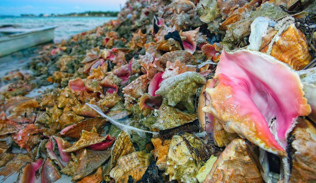 Pile of harvested conch shells in Exuma, Bahamas.