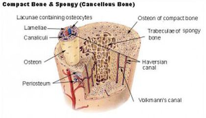 Bone vs. Stone: How to Tell the Difference