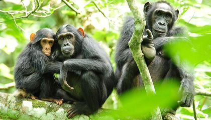 What Does it Really Mean to Be 99 Percent Chimp?