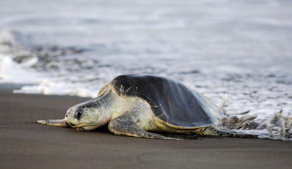 A rare olive ridley sea turtle arrives at the beach of Ostional, Costa Rica. Drones could help researchers figure out their mysterious behavior offshore.