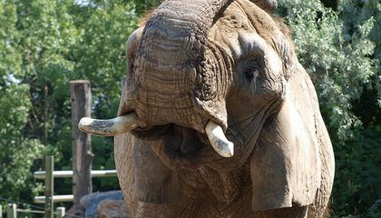 It Is Too Hot For African Elephants… In Canada