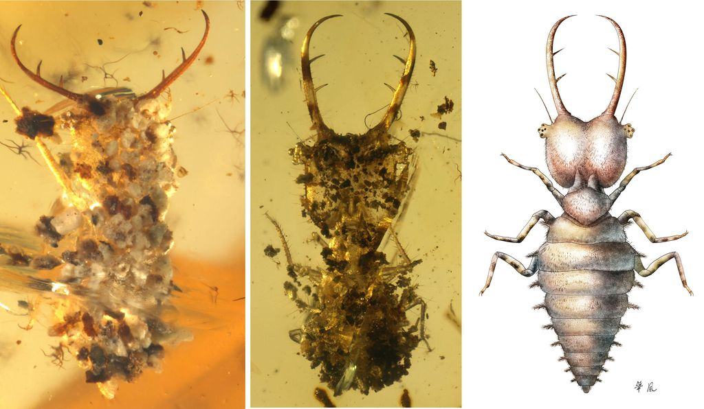 Researchers found these myrmeleontoid larvae, flecked with debris, in mid-Cretaceous Burmese amber.