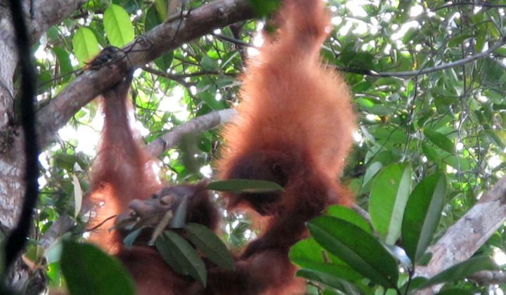 As two orangutan infants tussled in the trees, curator of primates Meredith Bastian and primate keeper Alex Reddy looked on in awe. Over the summer, they traveled to Central Kalimantan in Indonesian Borneo to follow these great apes in their native habitat.