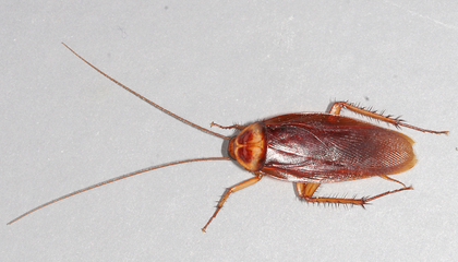 Look Out New Yorkers: Hot Weather Makes Roaches Take to the Skies
