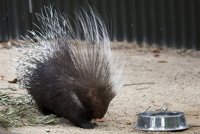 Rescued four-month old porcupine finds a new home at the Riverside  Discovery Center | Local News | starherald.com | 427x640