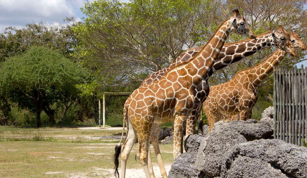 Giraffes at Zoo Miami