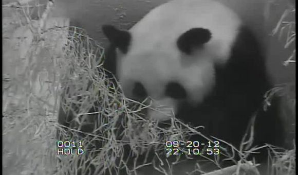 Preview thumbnail for video'Best View of the Baby Panda Yet