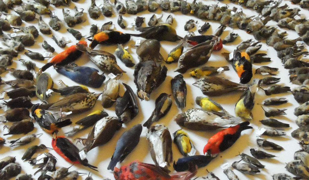 The collection included over 2,100 dead birds from more than 90 species assembled by volunteers during 2015.