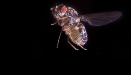 Video Proof: Fruit Flies Maneuver Just Like Fighter Pilots