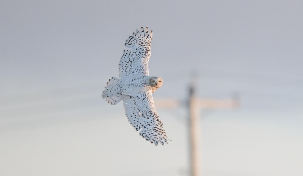 A female snow owl circles her nest in Utqiagvik, Alaska. Telephone poles like the one in the background provide convenient perches from which to hunt and keep watch.