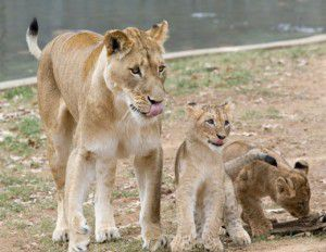 20110520110653ATM-Blog-Lion-Cubs-Winter-1-300x232.jpg