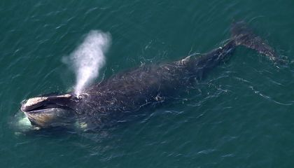 North Atlantic Right Whales Now Listed as 'Critically Endangered'