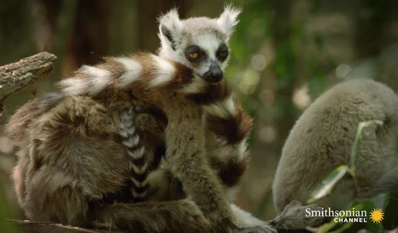 Preview thumbnail for video'These Feisty Female Lemurs Fight With Babies on Their Back