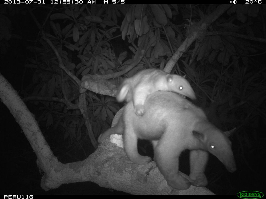 A nighttime camera trap photo of a tamandua walking across a branch in the rainforest canopy with its baby on its back.