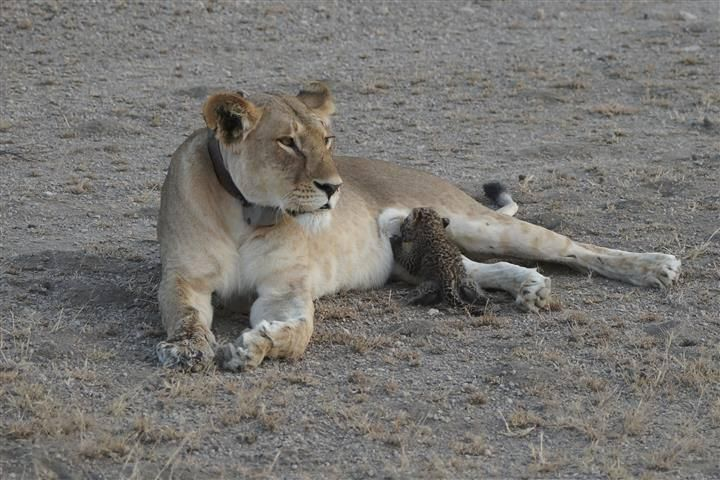 'Truly incredible' lioness nurses leopard cub