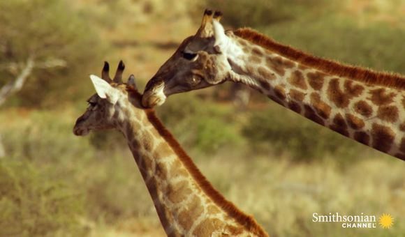 Preview thumbnail for video'Why Do Giraffes Have Patches?